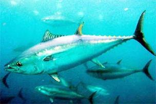 5 ton, ton balığı kafası döktüler!.10871