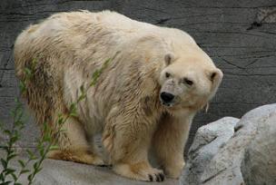 Dünyanın en yaşlı kutup ayısı öldü.13252