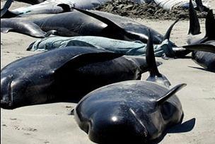 Kıyıya vuran 11 balina kurtarıldı.16076