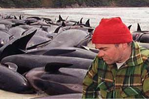 Avustralya'da 64 balina intihar etti.16333