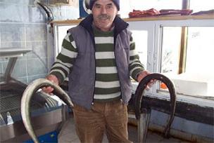 Enez'de yılan balığı bolluğu.13615