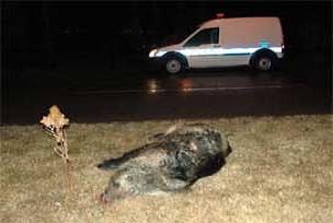 Otomobil domuz sürüsüne çarptı: 1 ölü.10607