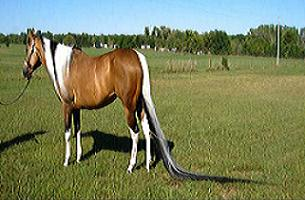Dünyanın en uzun kuyruklu atı (Foto).16661