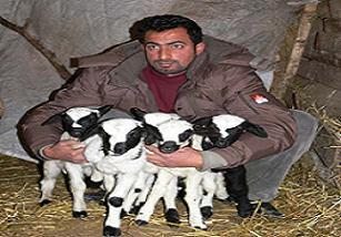 Sakız koyunu 5 kuzu doğurdu / FOTO.19897
