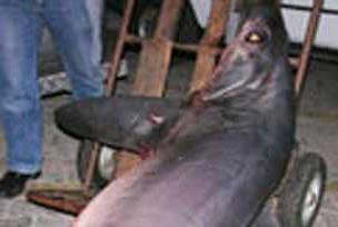 İmralı açıklarında köpek balığı yakalandı.9597