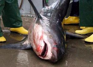 Zararcı köpekbalığı sonunda yakalandı.13577