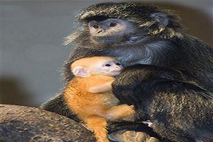 Portakal maymunlar maskot oldu!.15571