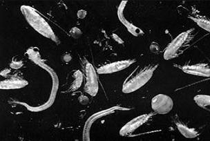 Pasifik'te dikiz aynalı balık keşfedildi.13804