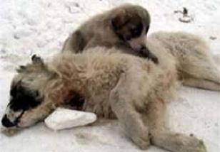 Minik köpek annesinden kopamadı.10764