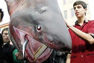 İşte 1 tonluk köpek balığı!.13975