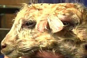 İzlanda'da çift yüzlü bir kuzu doğdu .13689