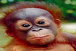 Yeni bir orangutan nüfusu keşfedildi.13561