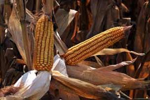 Dünya mısır üretiminde düşüş sürecek.15193