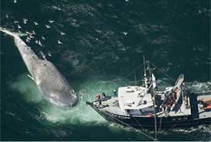 Dev balinanın trajik ölümü.12436