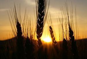 Hırsızlar gece yarısı hasatı kaldırdı.10610