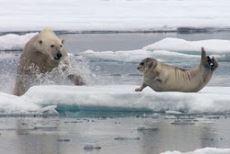 Kutup ayısı, avını ansızın yakaladı