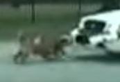 Köpekler polis arabasını parçaladı