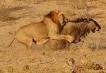 ��te aslanlar�n avlanma belgeseli