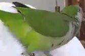 Hunharca gülen baykuş - İzle