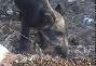 Domuzlar� haz�r mama ile besliyor
